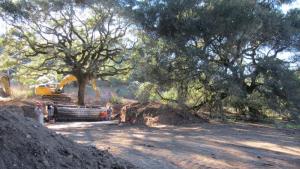 Los trabajos ilegales para trasladar el roble centenario fueron descubiertos en 2014