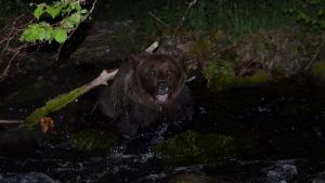 Rescatan de un arroyo un oso pardo macho herido