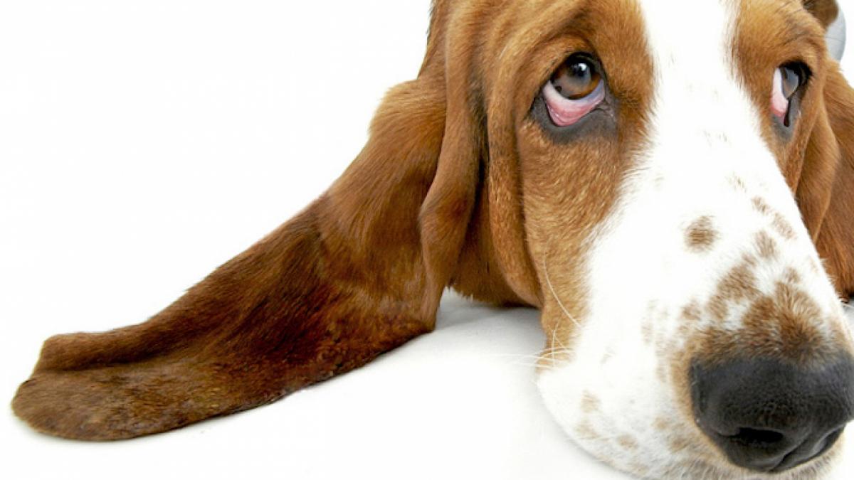 Els múscul LAOM permet als gossos adoptar una mirada trista