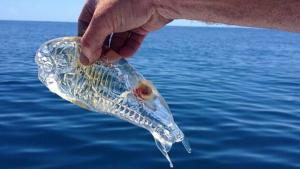 Ejemplar de Salpa, una especie marina que ha llegado en masa a las playas andaluzas este fin de semana