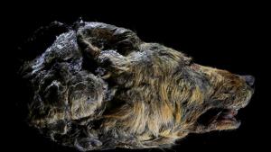 Encuentran la cabeza de un lobo de hace 40.000 años