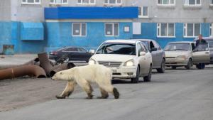 Imagen de un oso polar buscando comida en una ciudad rusa