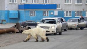 Imatge d'un ós polar buscant menjar a la ciutat industrial de Norilsk (Rússia)