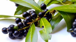 La belladona (atropa belladonna) es una planta venenosa y potencialmente mortal.