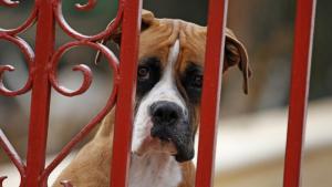 La perra, de raza Bóxer, habría sido víctima de abusos durante varios meses