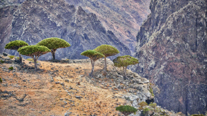 La sangre de drago se extrae de árboles exóticos de diferentes géneros botánicos.