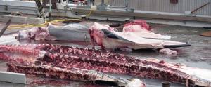 Rorqual caçat a Islàndia en ple procés d'especejament