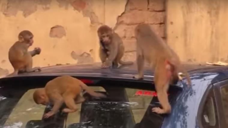Els micos envaeixen els carrers de les grans ciutats de l'Índia