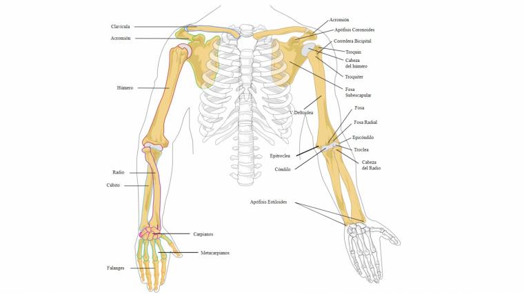 Huesos que conforman la articulacion de la muneca