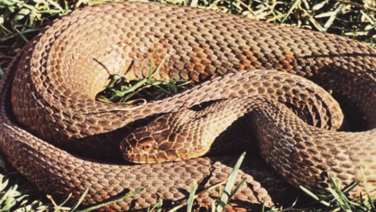 Imatge d'un exemplar de culebra d'aigua marró