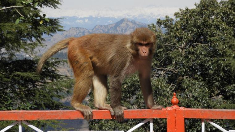 Imatge d'un mico a l'Índia