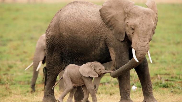 Un vídeo molt emotiu mostra un elefant carregant a la seva cria morta per enterrar-la