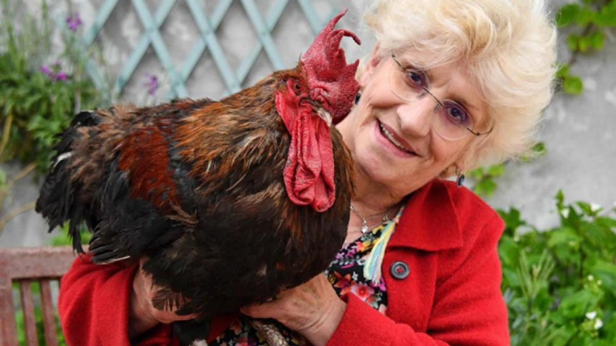Imatge del gall Maurice amb la seva propietària