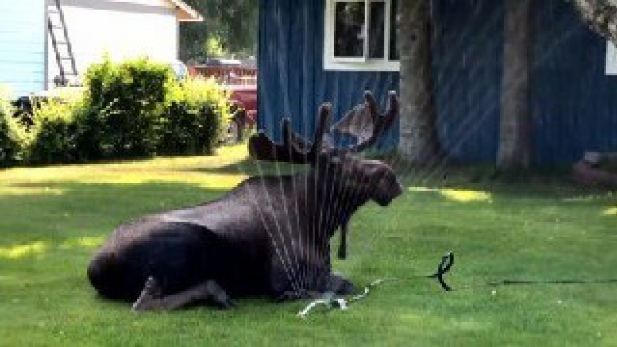 Imatge d'un animal autòcton d'Alaska refrescant-se com pot en plena onada de calor
