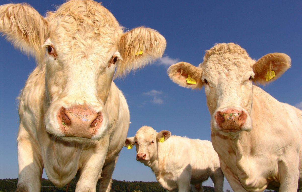 Si reduim el consum de carn, l'agricultura i la indústria càrnica no emetran tantes tonelades de CO2