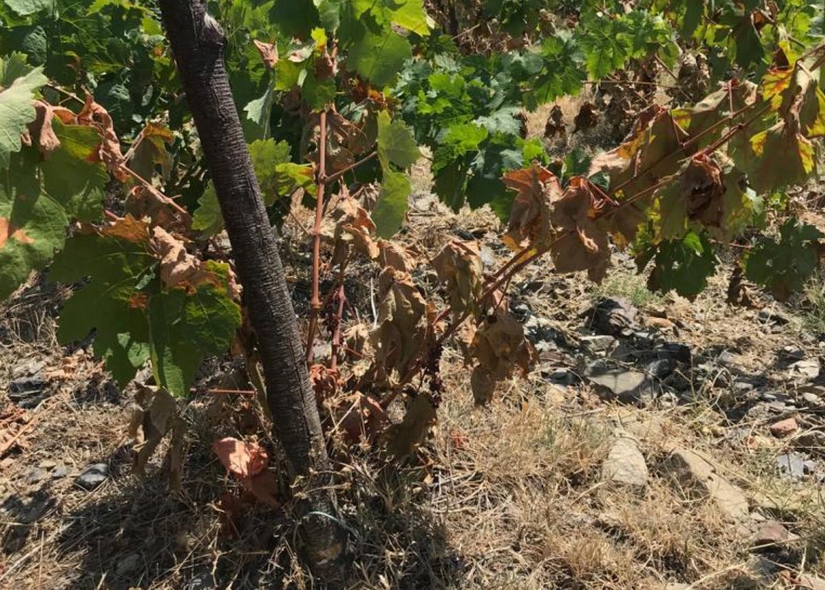 Vinyes afectades per l'onada de calor a la DOQ Priorat