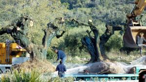 Alguns operaris preparant les oliveres arrencades prop de la zona del Pou de les Piques de Godall, per endur-se-les