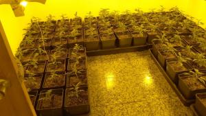 Desmantellen una plantació de marihuana al Baix Llobregat valorada en 300.000 euros