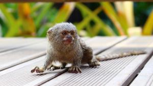 El tití pigmeu, el mico més petit del món