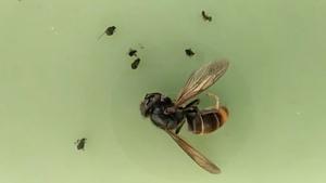 Exemplar de vespa asiàtica trobat aquest diumenge a Alcover.