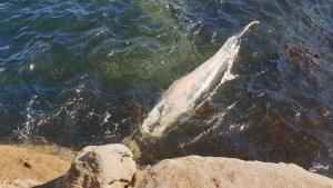 Imagen del cuerpo sin vida de la ballena encontrada varada en Cervo (Lugo)