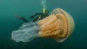 Imatge de la medusa gegant trobada a Anglaterra