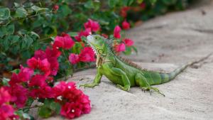 Imatge d'una iguana verda