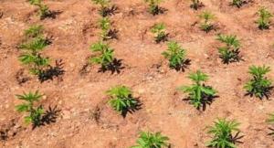 Imatge d'una part de la plantació de marihuana localitzada a l'entorn de l'embassament de Santa Anna