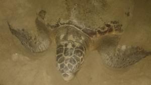 La tortuga marina que ha post els ous en la Platja de Castelló
