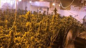 Las 265 plantas de marihuana intervenidas en Padul (Granada)