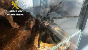 Les tarantules trobades en Xilxes