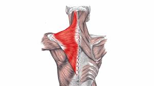Músculo trapecio: anatomía, funciones y causas de dolor