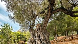 Una de les oliveres monumentals que s'han inventariat a Alcanar