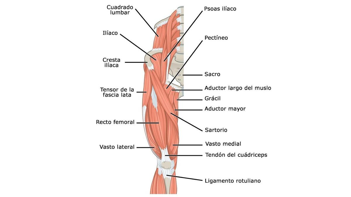 cual es el musculo ranking del muslo