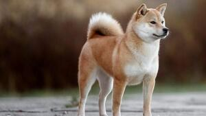 Akita Inu, raça perillosa