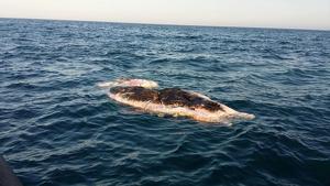 Cetaci mort al litoral d'Alacant