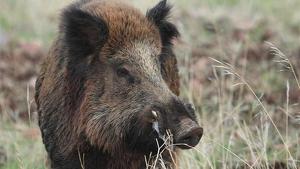 Comer carne de jabalí sin los análisis correspondientes puede suponer un importante peligro