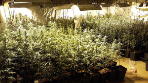 Detinguts per un presumpte la salut pública per la gestió d'una plantació de marihuana 'indoor'
