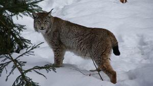 El linx boreal canvi de pelatge a l'hivern