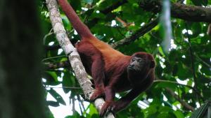 Hàbitat natural del mico aluata vermell