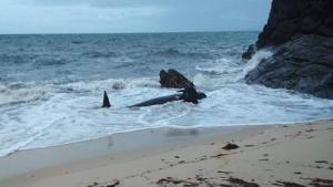 Imagen de la ballena atrapada en la arena de la playa de Xuncos, que gracias a los bañistas se pudo liberar