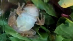 Imagen de la rana dentro de la ensalada