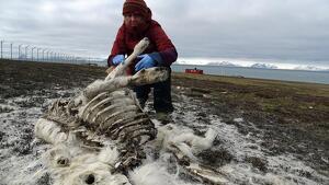 Imagen de una investigadora analizando el cuerpo de un reno en las Svalbard
