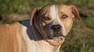 Imatge d'un American Staffordshire Terrier, raça de l'animal que va atacar a l'home a Reus
