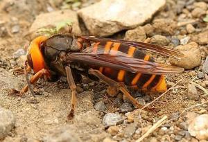 Imatge d'un exemplar de la vespa asiàtica