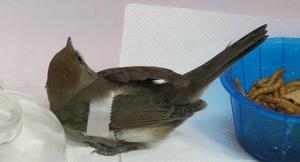 Imatge d'un ocell després de col·lidir amb les vidrieres del supermercat