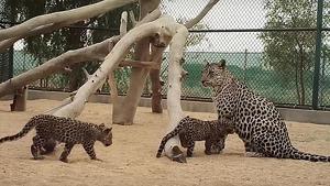 Imatges dels cadells de lleopard d'Aràbia