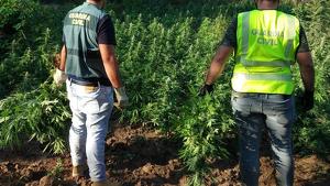 La Guàrdia Civil ha intervingut una plantació de marihuana, la segona més gran d'enguany, a l'Alt Empordà