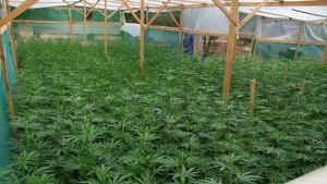 La plantació de marihuana descoberta pels Mossos d'Esquadra.