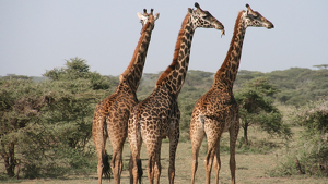 Les girafes surten fora del comerç internacional d'espècies vives, per protegir-les d'una futura desaparició